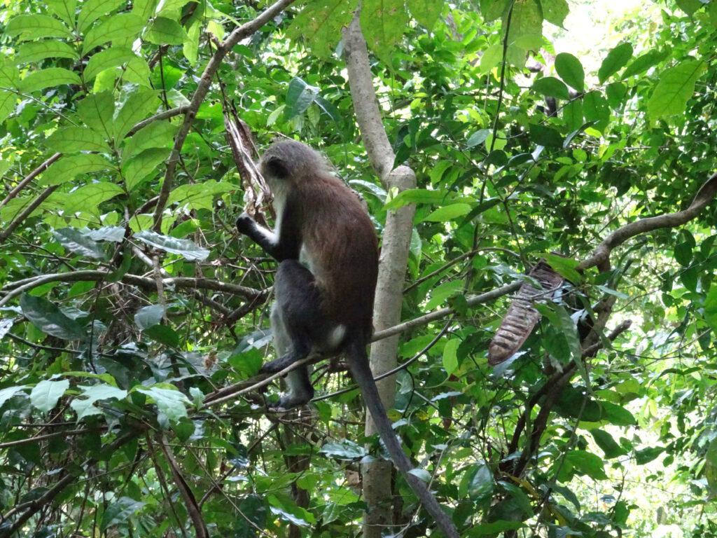 Tafi Atome Monkey Sanctuary Volta Region